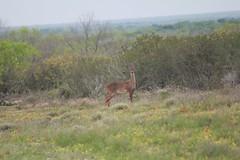 "BSR Deer • <a style=""font-size:0.8em;"" href=""http://www.flickr.com/photos/77680067@N06/7028476233/"" target=""_blank"">View on Flickr</a>"