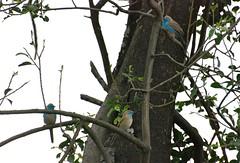 Blue Waxbills (zenseas) Tags: africa namibia ccf bluewaxbill uraeginthusangolensis bluebreastedcordonbleu cheetahconservationfund