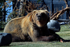 Captive male grizzly, Yellowstone (Digisnapper (George)) Tags: fauna bears yellowstone grizzly brownbear wildanimals captiveanimals