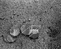 O'Neil Lake, Leaves in the Sand (mat4226) Tags: longexposure red blackandwhite bw white storm black macro film nature wet water leaves closeup leaf sand natural michigan sandy overcast naturallight stormy drop dot 8x10 droplet hp5 eastman pyro bellows ilford largeformat zonesystem oneil oa 14inch obsidian storming filmphotography pyrocat standardlens goerz filmisnotdead biggerisbetter 8x10film 355mm artar goerzlens puremichigan reddotartar oneillake stainingdeveloper eastmancommercialb compensatingdeveloper dilutedeveloper obsidianaqua bellowsextenstionfactor