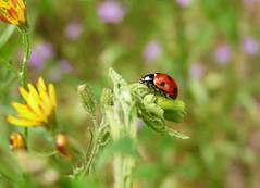 .... recorre mis cinco dedos...... (Geli-L) Tags: macro flor soe insecto mariquita unlimitedinsectslevel1 unlimitedinsectslevel2 unlimitedinsectslevel3