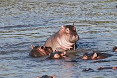 Western Serengeti_2012 06 03_3759 (HBarrison) Tags: africa hbarrison harveybarrison tauck serengeti tanzania serengetinationalpark grumeti grumetiriver hippo hippopotamus riverhorse taxonomy:binomial=hippopotamusamphibius