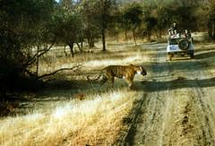 Tiger, Ranthambhore National Park India feb. 2001 (leo spee) Tags: tiger ranthambhore ranthambhorenationalpark