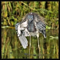 END OF THE BAYOU canoe boy (WanaM3) Tags: reflection bird heron nature texas wildlife bayou pasadena canoeing paddling tricoloredheron horsepenbayou wanam3