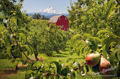 Fruitful Valley (Gary Randall) Tags: oregon barn pears orchard mthood pear mounthood redbarn hoodriver hoodrivervalley dsc66282