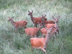 Aufmerksam (shmuck_22) Tags: germany deutschland tiere mecklenburgvorpommern hirsche mritznationalpark