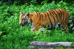 With grace and style (samitsinha) Tags: india nature beautiful beauty canon photography natural tiger kolkata bengal samit royalbengaltiger 55250mm canoneos550d samitkumarsinha samitkumarsinhaphotography