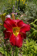 "Red Lily • <a style=""font-size:0.8em;"" href=""http://www.flickr.com/photos/54958436@N05/7779392944/"" target=""_blank"">View on Flickr</a>"