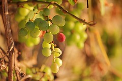 sunny grapes (florenarocena) Tags: grapes raisin trauben uvas mahatza mygearandme mygearandmepremium mygearandmebronze