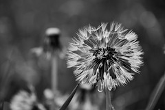 Make a wish (AnnaEsposto) Tags: flowers white black nature photography dendelion