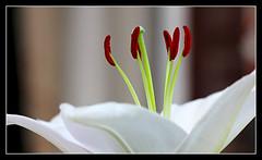 Supremacy (Audrey A Jackson) Tags: flower macro nature garden petals lily stamens closeups thegalaxy panasonicdmctz3
