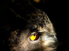 """A Glimpse of Mrs Thumper"" (Explore) (Mrs Nilacop) Tags: owls featherfriday bestevercompetitiongroup me2youphotographylevel1 freedomtosoarlevel1birdphotosonly"