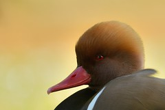Red Crested Pochard (Benjamin Joseph Andrew) Tags: