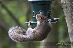 """""""Ok, I know this looks bad, but I can explain!"""" (Sadloafer) Tags: uk sunlight horizontal closeup outdoors photography squirrel day wildlife birdfeeder nopeople treetrunk whisker lookingaway barnsley mouthopen southyorkshire greysquirrel animalsinthewild oneanimal animalthemes colourimage focusonforeground"""