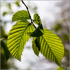 Young Hornbeam leaves (Smudge 9000) Tags: england leaves forest woodland spring unitedkingdom birch kingswood 2014 challock molash