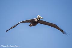 Brown Pelican in Flight (ChrisF_2011) Tags: brown flight pelican pelecanus