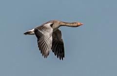 JWL9349 Greylag!... (jefflack Wildlife&Nature) Tags: nature birds countryside geese wildlife lakes goose wetlands avian waterbirds wildbirds greylaggoose greylags