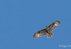 Buse variable (Régis B 31) Tags: accipitridés accipitriformes ariège bird domainedesoiseaux mazères oiseau busevariable vol rapaces explore