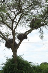 Nests (My photos live here) Tags: africa urban town village district uganda nests ankole katunguru ruburizi