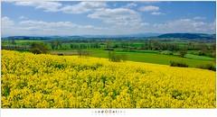 Field of yellow (nandOOnline) Tags: yellow fuji workshop frankrijk geel auvergne rapeseed koolzaad brassicanapus allgre auverne lafougeraie folgoux x100t fujix100t allgre