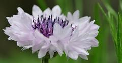 un giretto!?! (andrea.zanaboni) Tags: white flower macro colors nikon estate dettagli fiore colori giostra bianco profumo armonia
