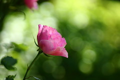 The colors I ignore (Angelina.Maria) Tags: pink flowers green nature rose oregon canon outdoors northwest bokeh 85mm salem pnw schreinersirisgardens