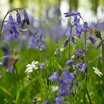 Bluebells and other woodland flowers