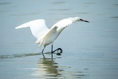 Reddish egret (white morph) foraging #5 (billd_48) Tags: winter nature birds fl egret whitemorph wadingbirds reddishegret