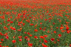 Poppy field (Eleonora Cacciari) Tags: flowers italy flower nature flora italia natura campagna campo fiori fiore rosso rossi emiliaromagna poppyfield granarolo campodipapaveri canonefs18135mmf3556isstm eos1200d canoneos1200d eleonoracacciari