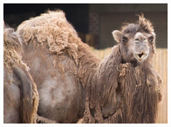 well hello! (GadgetHead) Tags: cheshire chesterzoo bactriancamel camel nikon northwestengland nikond3100 d3100 55300mmvrlens 55300mmf4556 55300mmlens 55300mmvrf4556 55300mm northwest england uk unitedkingdom gb