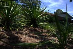 IMG_8636.CR2 (jalexartis) Tags: yard landscape backyard landscaping shrub yucca shrubbery yuccaplant