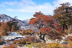 Patagonia in Autumn after Snow Storm. (baddoguy) Tags: blue autumn mountain snow argentina horizontal forest landscape outdoors photography leaf hiking tranquility nopeople adventure copyspace multicolored chalten tranquilscene deepsnow patagoniaargentina cloudsky traveldestinations colorimage famousplace ruralscene beautyinnature coloredbackground nonurbanscene santacruzprovinceargentina multicoloredbackground