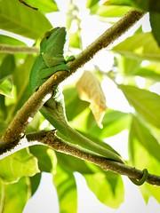Chameleon, Madagascar (Rod Waddington) Tags: wild green nature animal forest forrest outdoor wildlife lizard chameleon madagascar