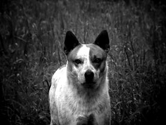 The Stare Down (ClvvssyPhotography) Tags: blackandwhite dog grass animal outdoors photography samsung ears wb stare 100