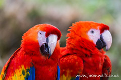 Scarlet macaw pair (wellsie82) Tags: blue red two portrait bird nature yellow closeup canon outdoors eos pair parrot cumbria macaw safaripark zoology 6d scarletmacaw jasonwells animalportrait barrowinfurness southlakeszoo wellsie82 wwwjasonwellscouk jasonwellscouk
