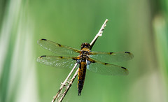 Defiantly a different stick this time (Out of Focus [sic]) Tags: outside dragonfly stick landed woodlake naturecenter 4wings