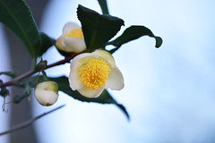 Tea plant (flowers) (qooh88) Tags: white tree branch pistil evergreen stamen camellia  tealeaf  teaplant theaceae         camelliasinensis