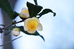 Tea plant (flowers) (qooh88) Tags: white tree branch pistil evergreen stamen camellia  tealeaf  teaplant theaceae         camelliasinensis