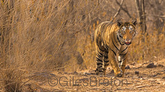 TIG01649GB_1 (giles.breton) Tags: india tiger tigers endangered ranthambhore panthera threatened andyrouse ranthambhorenationalpark pantheratigristigris royalbengaltiger dickysingh