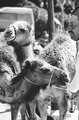 Morocco - Tangier (senniam2) Tags: morocco camels tangier