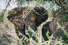 Elephant searching for shadow (knipslog.de) Tags: africa shadow elephant southafrica wildlife urlaub safari sdafrika krugernationalpark bigfive big5 suedafrika krgernationalpark