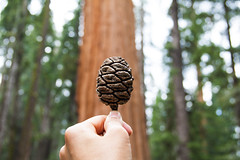 Sequoia cone (christinechophotography) Tags: tree nature sequoia sequoianationalpark