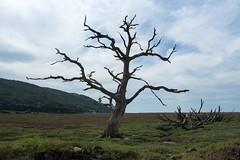 Skeletal (Graham Dash) Tags: trees landscapes somerset deadtrees porlockweir saltmarshes porlockmarsh
