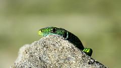 Sieste au sommet (bernard.bonifassi) Tags: bb088 06 alpesmaritimes 2016 thiery counteadenissa reptile lezard lezardvert