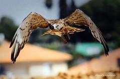 Birds in Israel (2) - Falcon (jackfre2) Tags: israel birds falcon hula hulabirdpark birdwatching agamonhahula