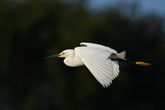 Snowy Egret in flight at Wakodahatchee. (Nrth Grd Elementary Birder's Club) Tags: bird inflight serenity egret flyover snowyegret audubon wakodahatchee nikond500