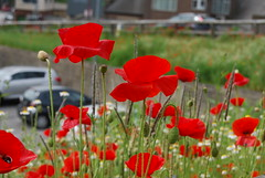 Poppies (Halliwell_Michael ## Offline mostlyl ##) Tags: flowers dof poppies wildflowers towns westyorkshire brighouse 2016 nikond40x brighouse1940sweekend brighouse1940swe