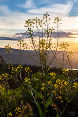 IMG_4124 (NWS Photography) Tags: sunset sky flower nature oslo outside golden norge blomst raps goldenhour solnedgang solnedgangen rapsolje nwsphoto rapsplante