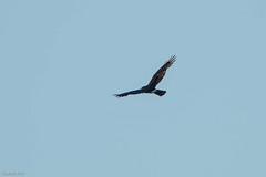 Northern Harrier, Gander (frank.king2014) Tags: ca canada gander northernharrier newfoundlandandlabrador