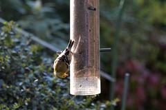 bird birdfeeder finch